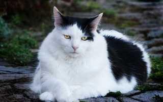 Сочинение Про кота (про домашнего кота)